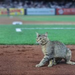 A cat in Yankee Stadium, will it be the new doll?